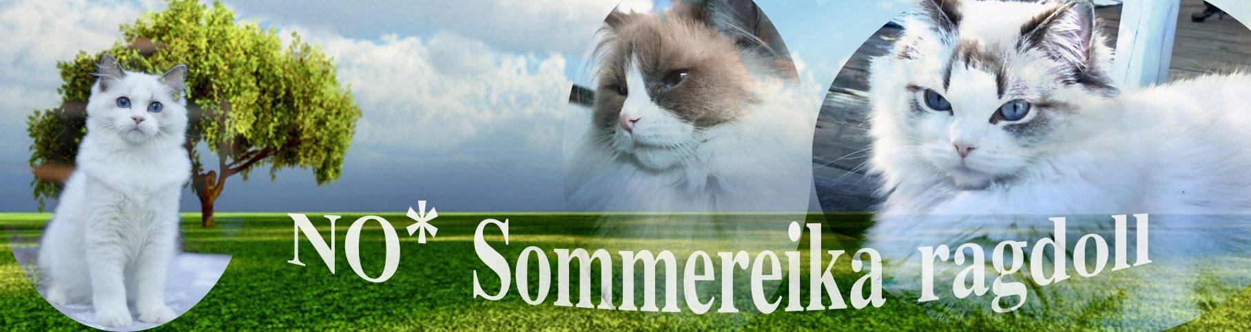 No* Sommereika ragdoll
